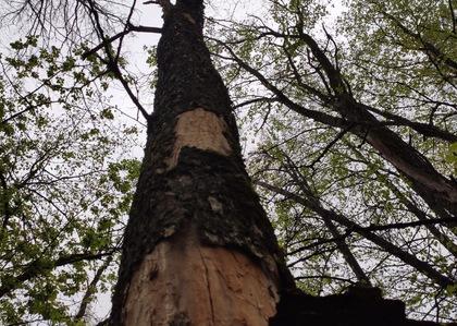 В городском парке проводится санация сухостойных деревьев